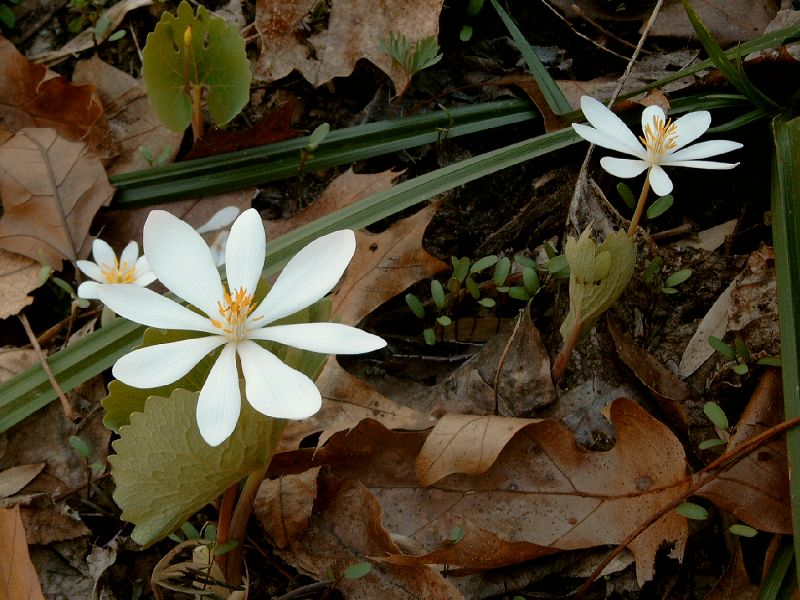Spring wildflower guide fox island alliance the single white squarish flower is 1 across with eight to ten petals which detach very easily it has a center of golden stamens mightylinksfo