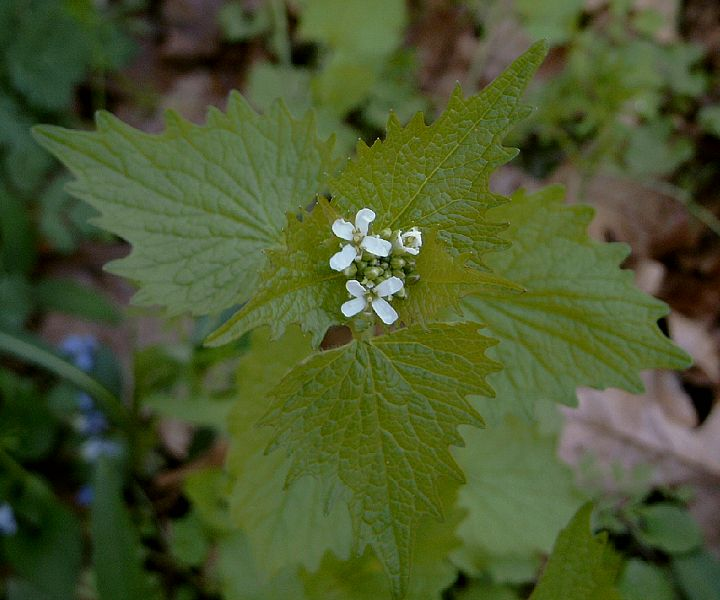 Spring wildflower guide fox island alliance the bright green 2 to 3 triangular or heart shaped toothed leaves appear very early the white tiny four petal flowers are in long branching groups mightylinksfo