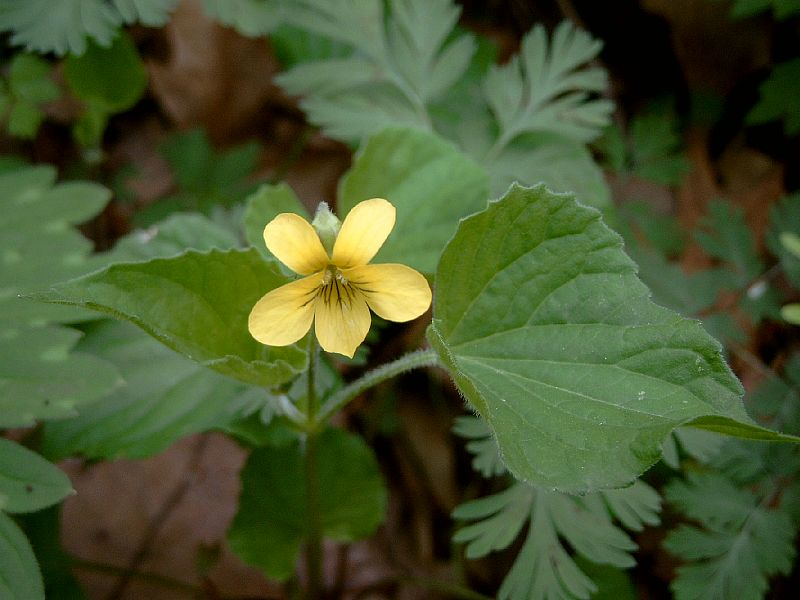 Spring wildflower guide fox island alliance it and the side petals are strongly veined flowers and the heart shaped leaves are on separate stalks the plant is under 10 tall it blooms in mid april mightylinksfo